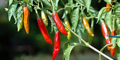 Gu a variedades y caracter sticas del chile hydro for Planta de chile