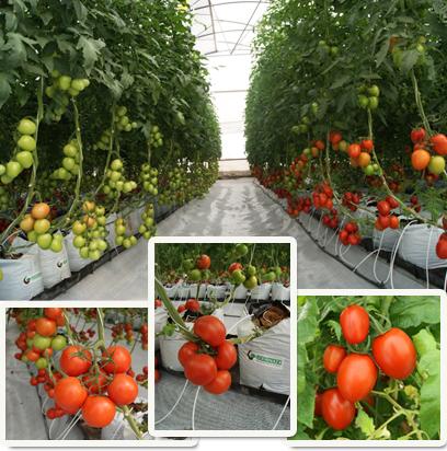 Gu a para el cultivo de jitomate hydro environment for Cultivo de verduras en casa