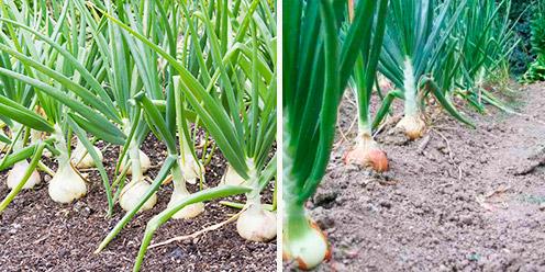 Gu a para el cultivo de cebolla hidrop nica hydro for En cuanto tiempo se cosecha la tilapia